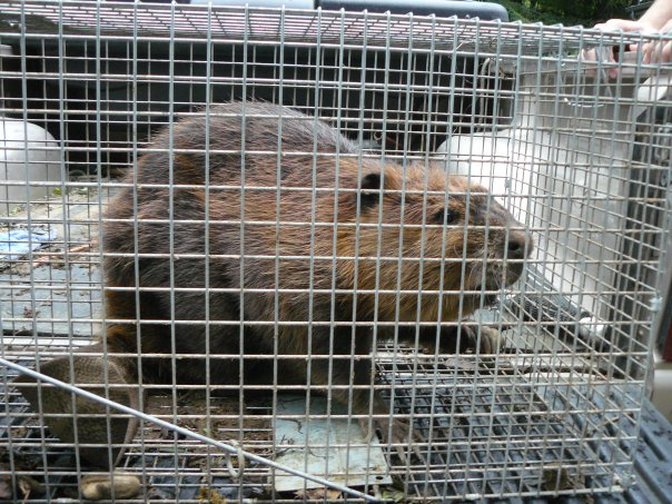 Trapper Ran Nuisance Wildlife Specialists