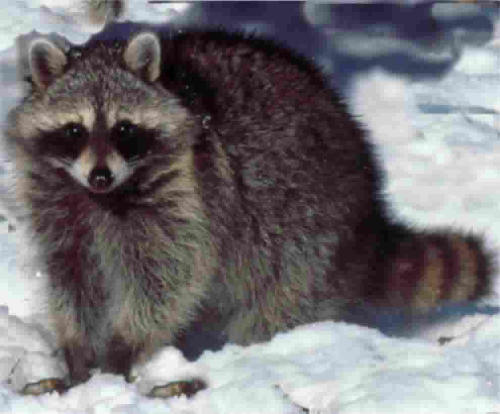 Trapper ran nuisance wildlife specialists for Do raccoons eat fish